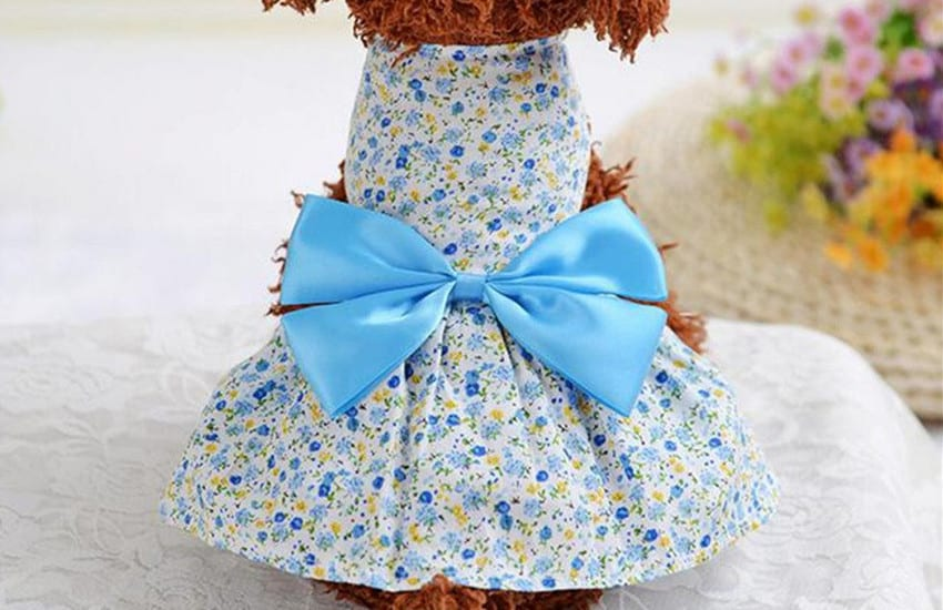 Cavoodle blue dress ribbon