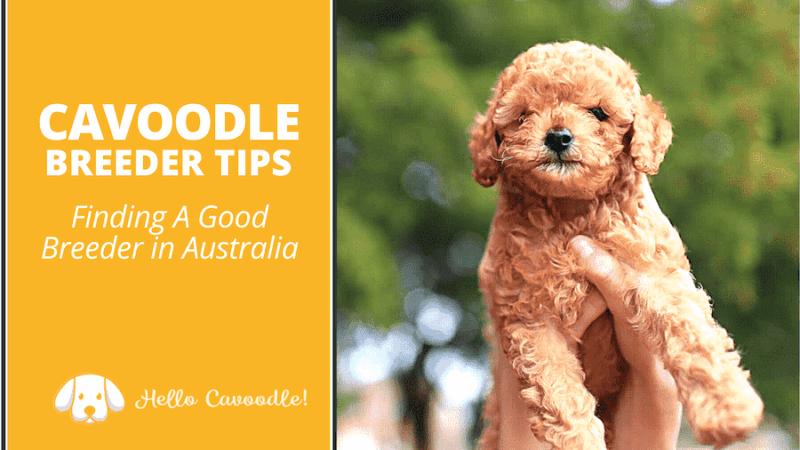 cavoodle breeder tips