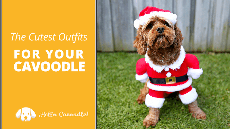 cavoodle cutest outfits