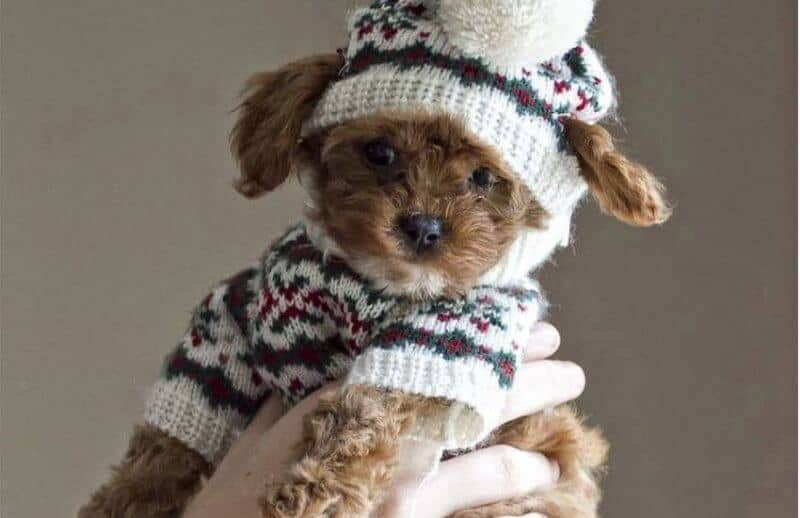 Cute Cavapoo with Beanie