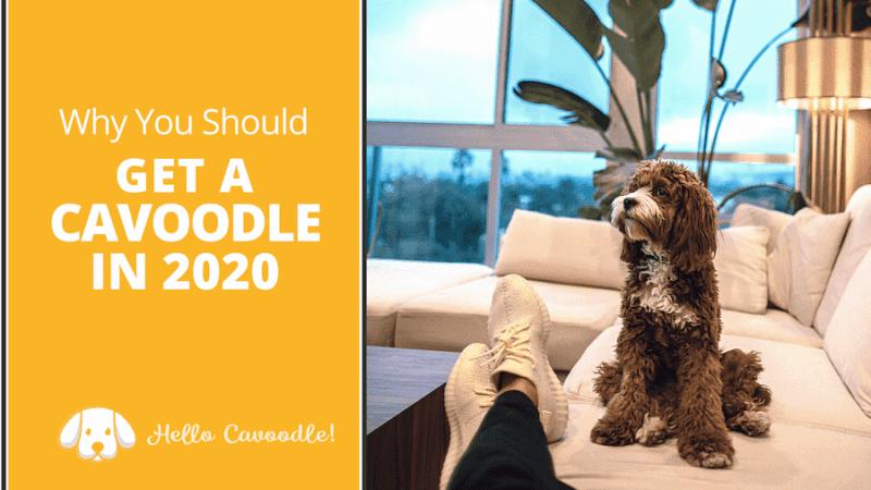 get a cavoodle 2020