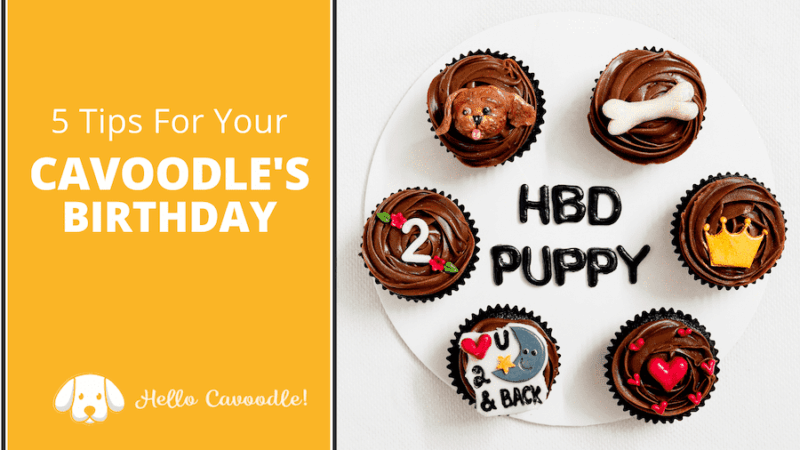 cavoodle birthday tips