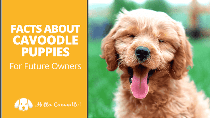 cavoodle puppies facts