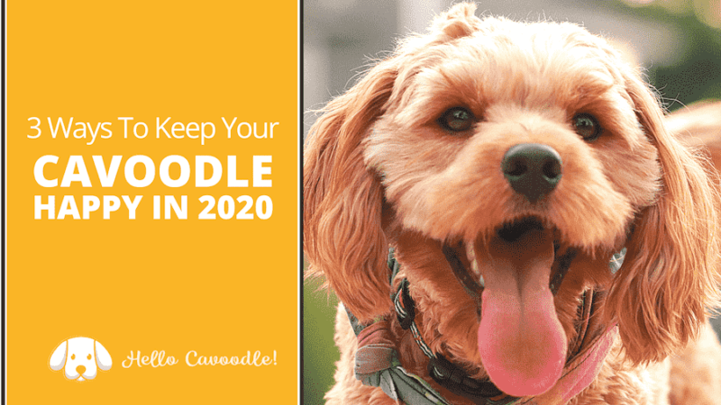 keep your cavoodle happy 2020