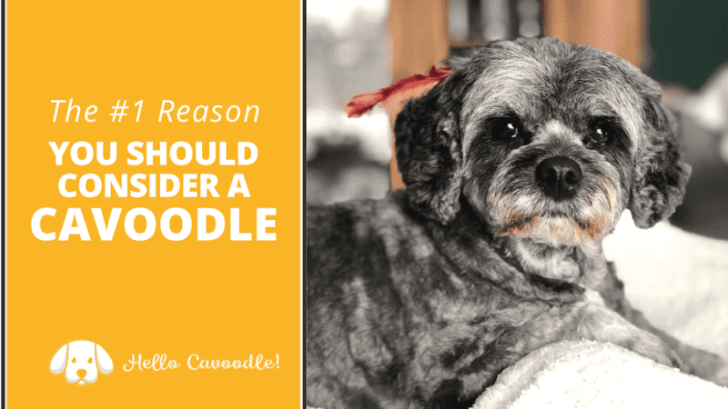 why you should consider cavoodle