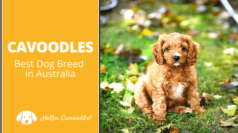 best dog breed australia