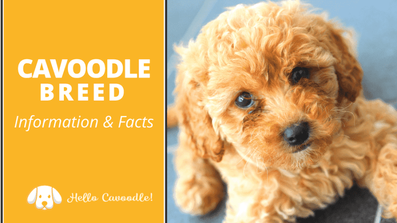 cavoodle breed information facts