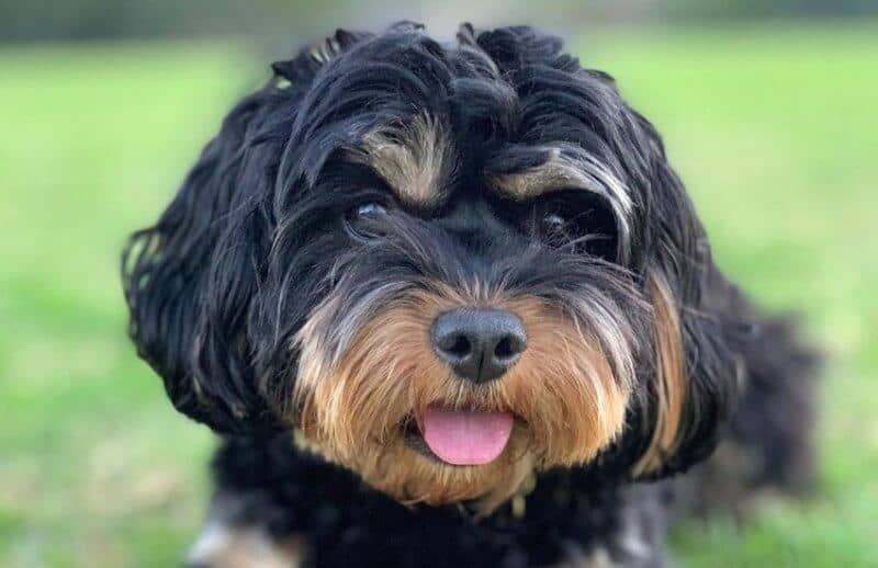 Black and Brown Cavoodle