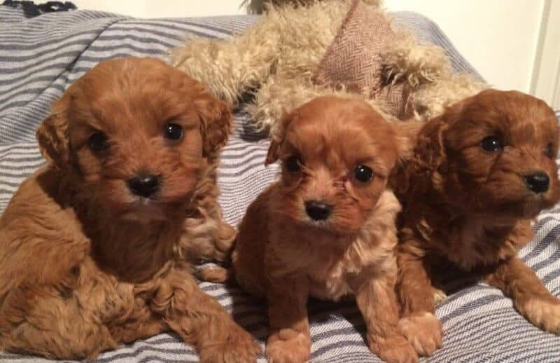 Brown Cavoodle Puppies