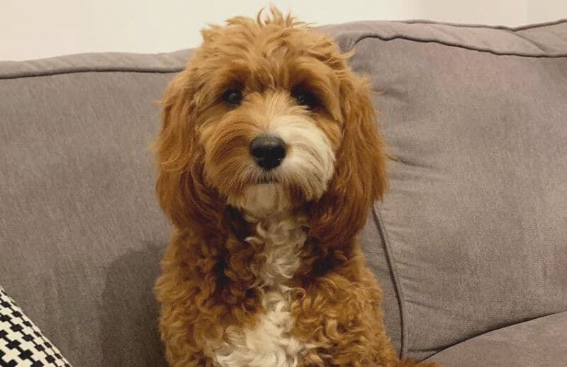 Cavapoo on Couch