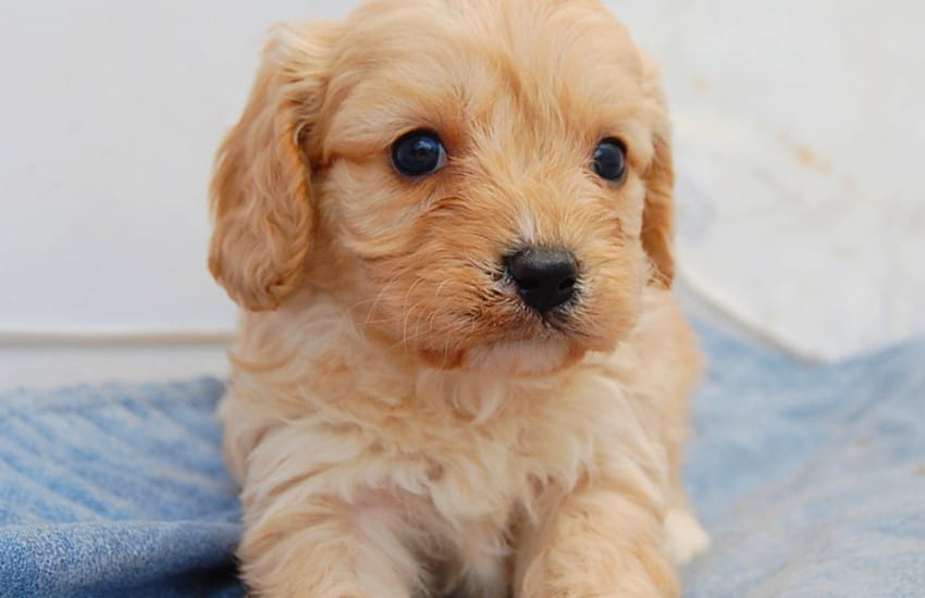 Facts about Cavoodle Puppies for Future Owners!