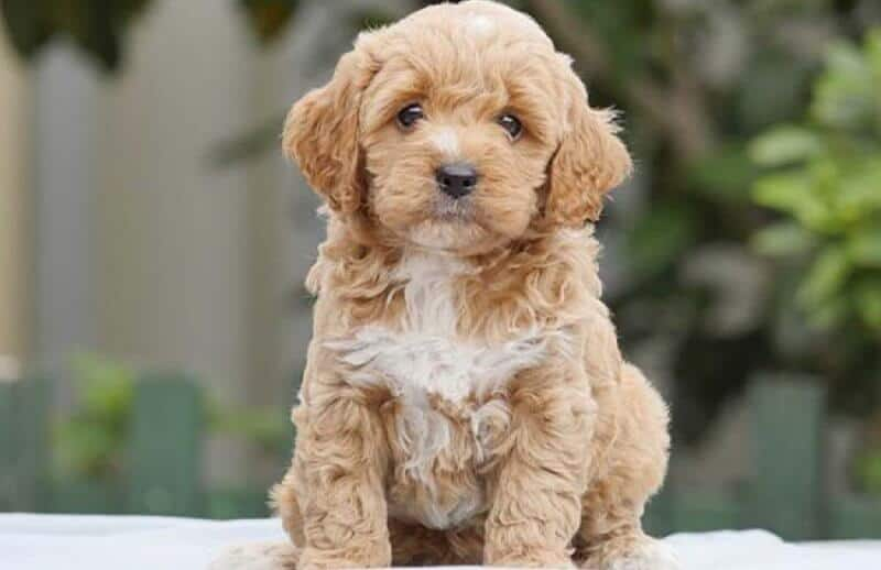Cute Tan Cavoodle
