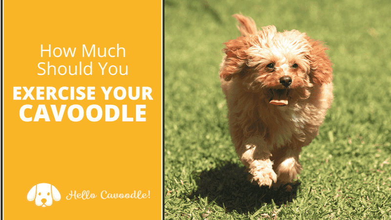 exercise your cavoodle
