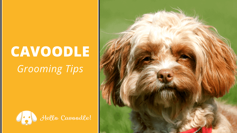 cavoodle grooming tips