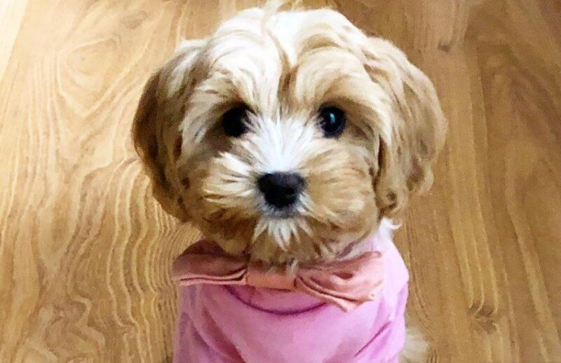 Cavoodle with Pink Top