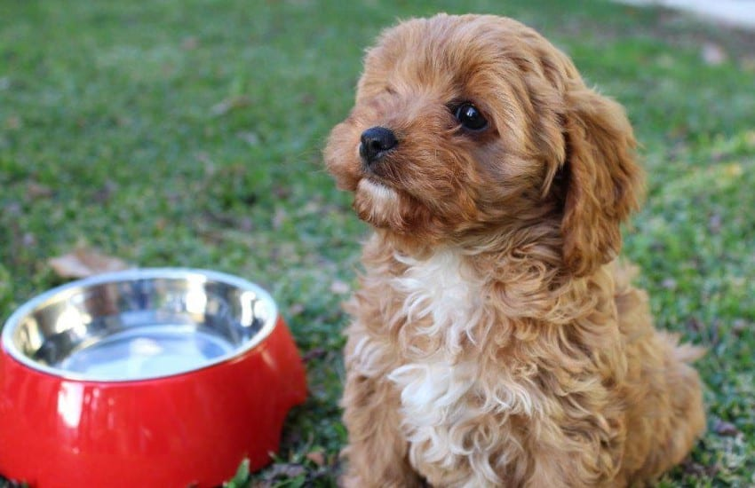 Cavoodle with Water Bowl