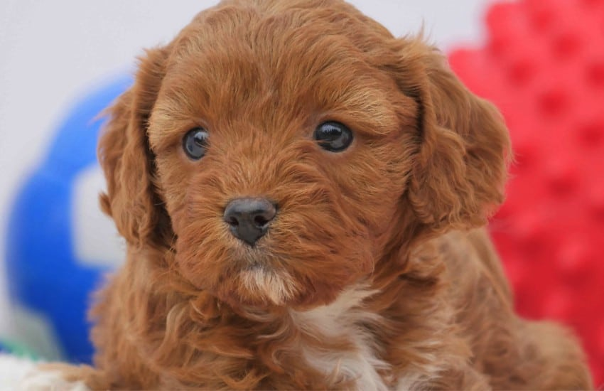 What Do Cavoodle Puppies Eat?