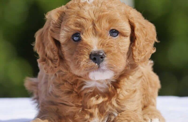 Cute Cavoodle Laying Down