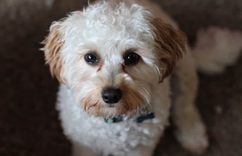 Cute White Cavapoo