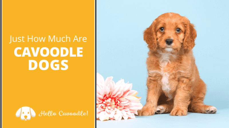 how much are cavoodle