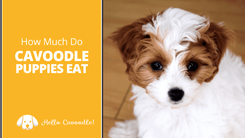 how much cavoodle puppies eat