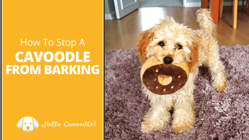 stop cavoodle barking
