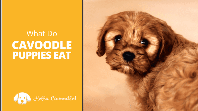 what cavoodle puppies eat