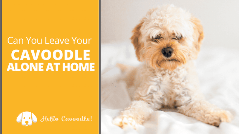 cavoodle alone at home