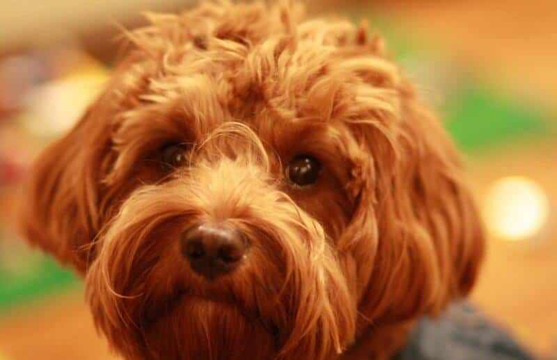 Gold Cavoodle with Puppy Eyes