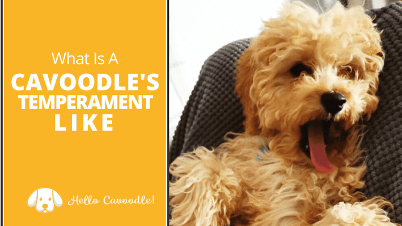 cavoodles temperament