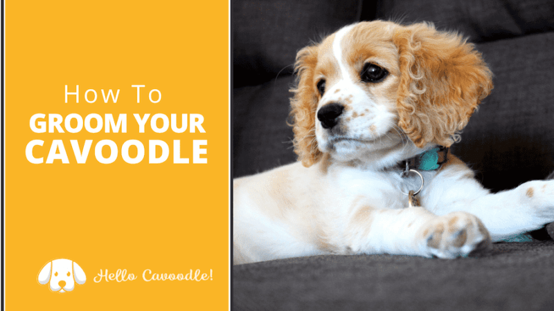 groom your cavoodle