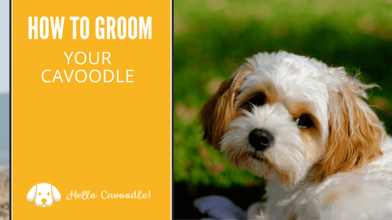 how to groom a cavoodle or cavapoo