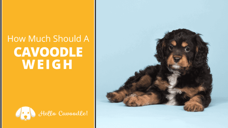 how much cavoodle weigh