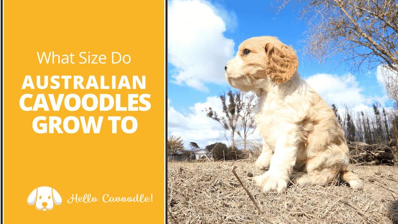 australian cavoodles grow
