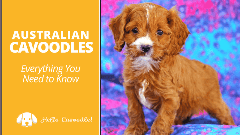 everything about australian cavoodles