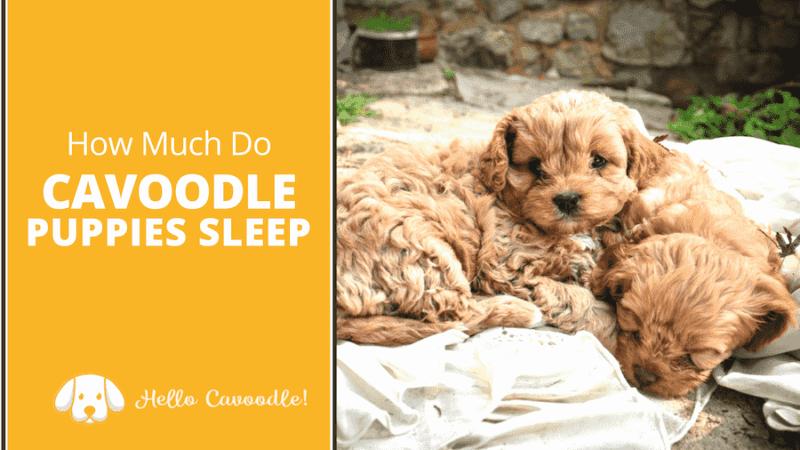cavoodle puppies sleep