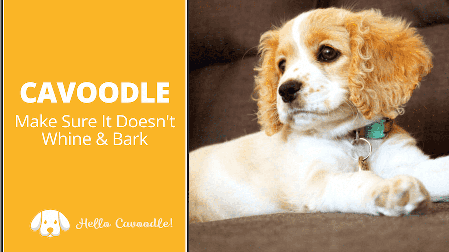 cavoodle whine and bark