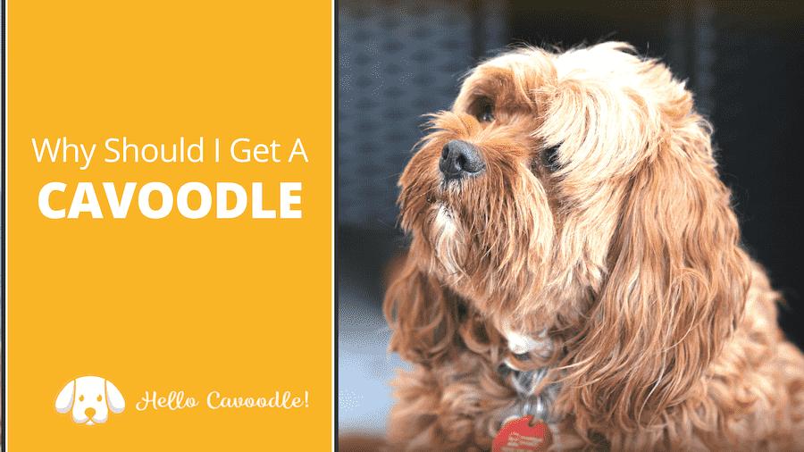 get a cavoodle
