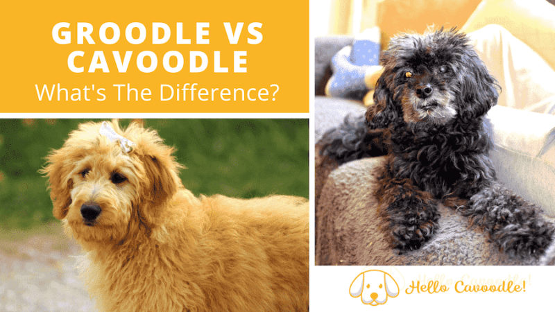 groodle cavoodle difference