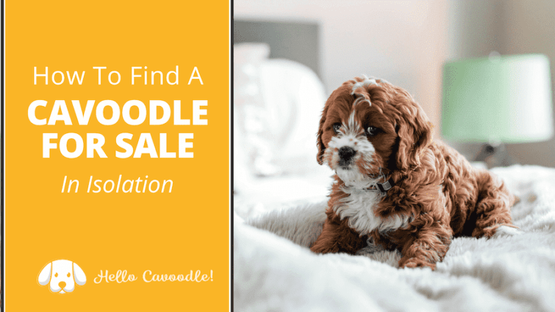 cavoodle for sale isolation