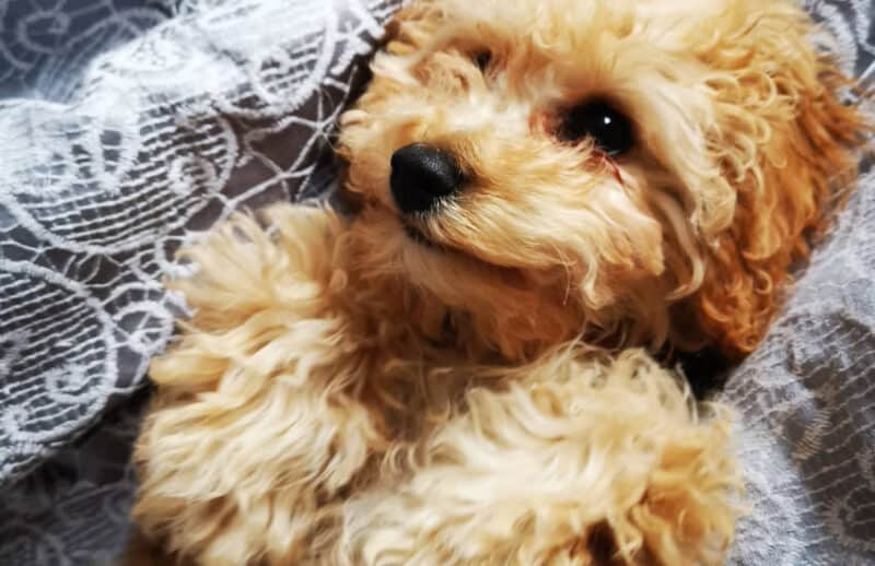 Cavoodle Puppy Lying on Back