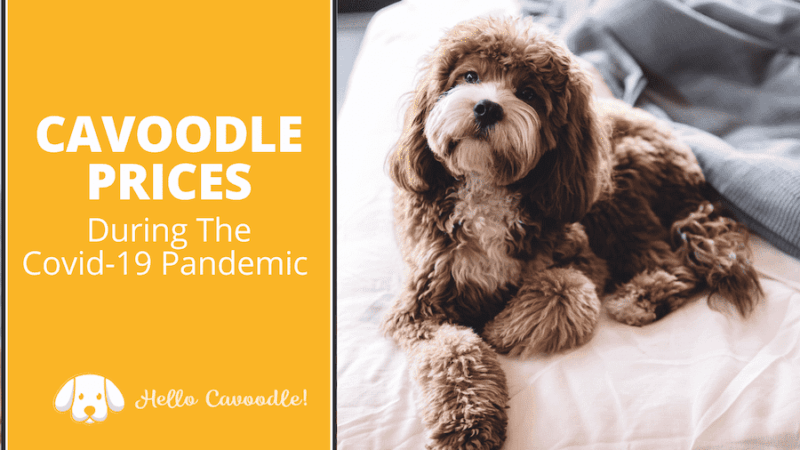 cavoodle prices covid19