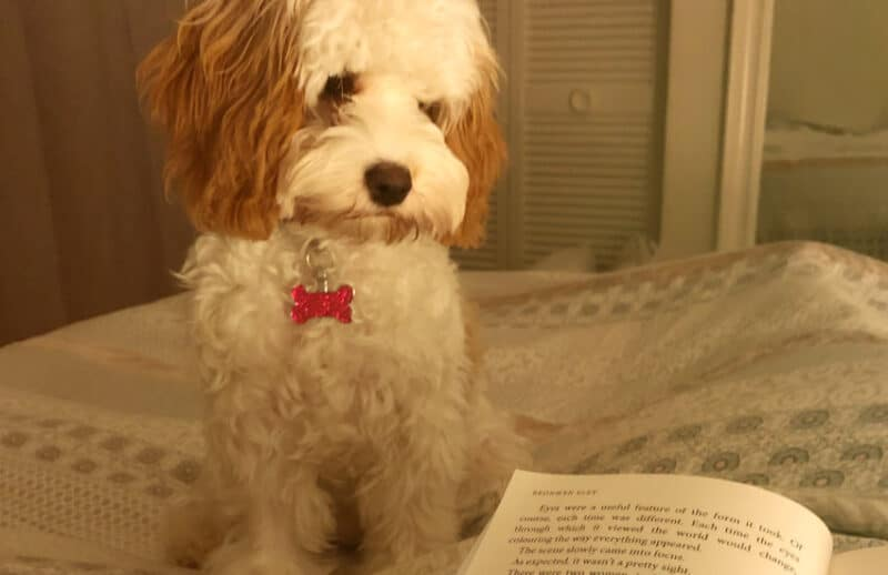 Cavoodle with Book