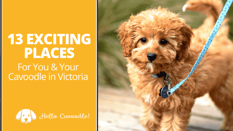 places for cavoodle victoria