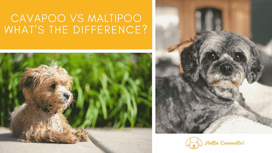 maltipoo and cavapoo