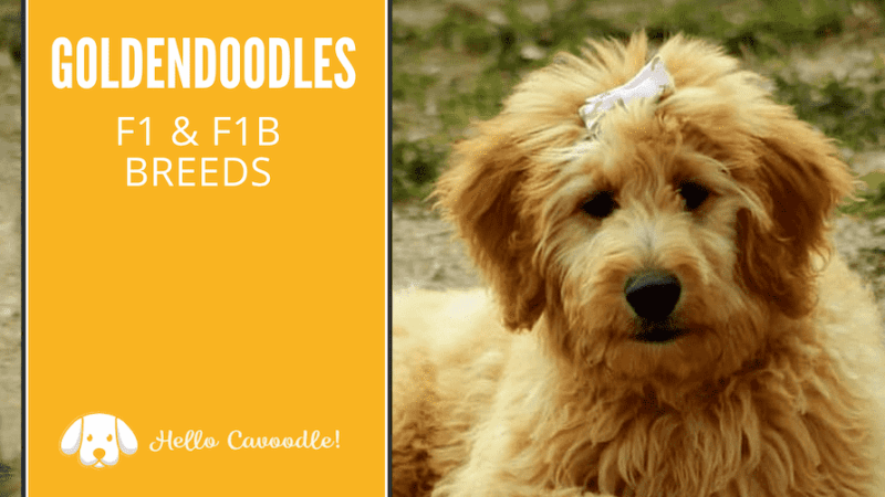 goldendoodle F1 vs F1B