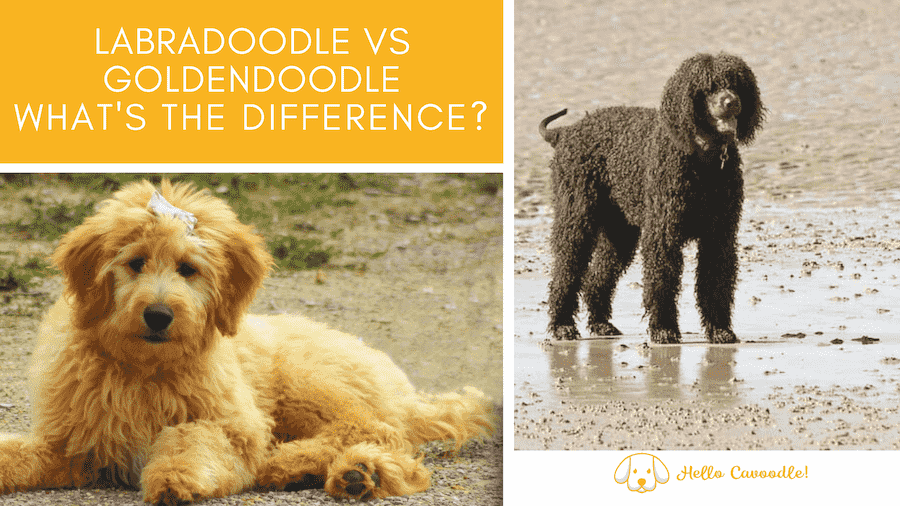 labradoodle and goldendoodle