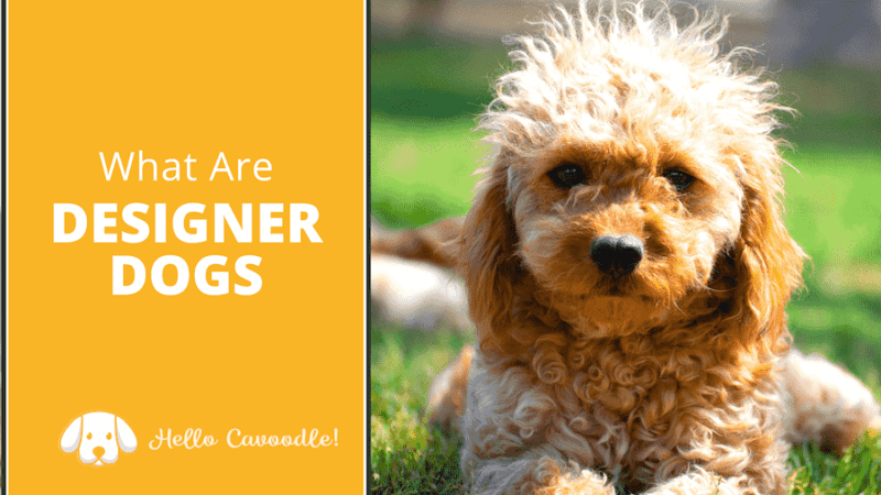 what are designer dogs