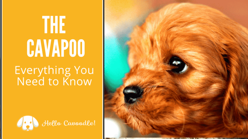 cavapoo breed information