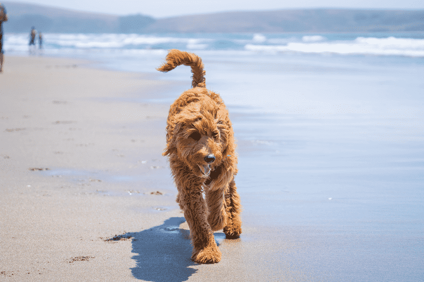 Furry Goldendoodle Walking on the Beach